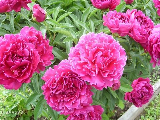 Приглашаю посмотреть на цветочки, которые растут сейчас на моей даче. Правда я не все названия знаю правильно. Дачник я аховый. Люблю выращивать то, что требует поменьше ухода за собой.  фото 2