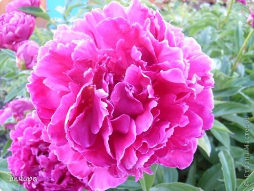 Приглашаю посмотреть на цветочки, которые растут сейчас на моей даче. Правда я не все названия знаю правильно. Дачник я аховый. Люблю выращивать то, что требует поменьше ухода за собой.  фото 1