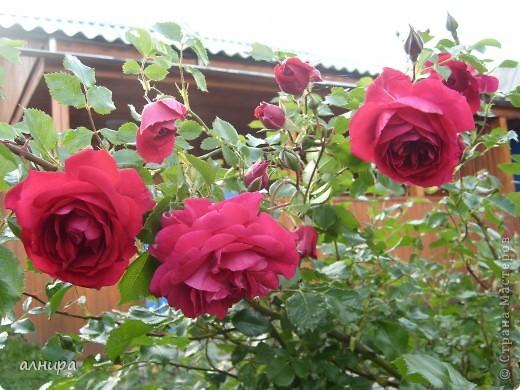 Приглашаю посмотреть на цветочки, которые растут сейчас на моей даче. Правда я не все названия знаю правильно. Дачник я аховый. Люблю выращивать то, что требует поменьше ухода за собой.  фото 8