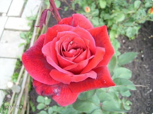 Приглашаю посмотреть на цветочки, которые растут сейчас на моей даче. Правда я не все названия знаю правильно. Дачник я аховый. Люблю выращивать то, что требует поменьше ухода за собой.  фото 12