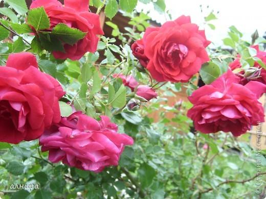 Приглашаю посмотреть на цветочки, которые растут сейчас на моей даче. Правда я не все названия знаю правильно. Дачник я аховый. Люблю выращивать то, что требует поменьше ухода за собой.  фото 15