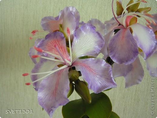 Представляю на ваш суд свою очередную работу по лепке из самодельного холодного фарфора. Это растение называется баухиния или орхидейное дерево. И как обычно это растение мне показала Оля (lolkaolga )  Она большая затейница по части отрыть что то интересное- спасибо ей за это! фото 5