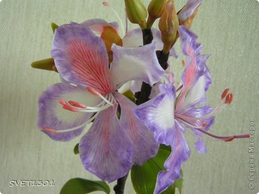 Представляю на ваш суд свою очередную работу по лепке из самодельного холодного фарфора. Это растение называется баухиния или орхидейное дерево. И как обычно это растение мне показала Оля (lolkaolga )  Она большая затейница по части отрыть что то интересное- спасибо ей за это! фото 8