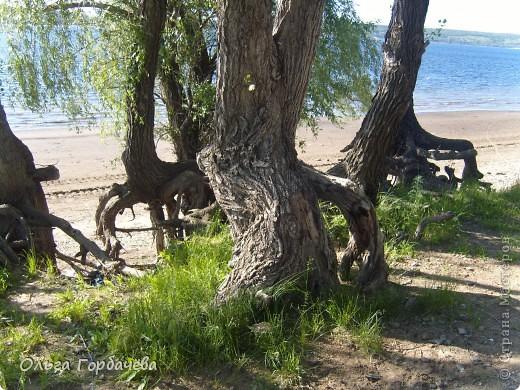По Волжким берегам,речушкам и озёрам Стоят деревья,век свой доживая. И волны вод совсем о том не зная, Так бесконечно почву размывая, Подтачивают корни им. И вот они, как провода оголены, Торчат из Матушки- Земли!                    (Горбачёва О.В.) фото 5