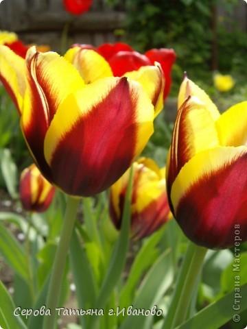 На сайте очень много репортажей с прекрасными цветами, но разве такой красоты бывает много?! фото 12