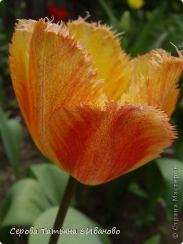 На сайте очень много репортажей с прекрасными цветами, но разве такой красоты бывает много?! фото 13