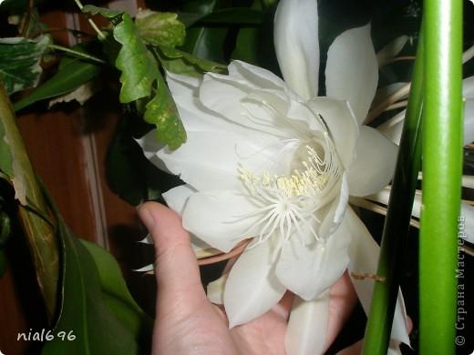 """У меня расцвела """"Царица ночи"""" Царица ночи — это тропический кактус, научное название его селеницереус крупноцветковый, а еще его называют змеиным кактусом. С помощью воздушных корней длинные, изогнутые стебли кактуса взбираются на скалы и стены, очень напоминая змей своими стеблями. Цветет Царица ночи только по ночам, и цветок ее открыт только одну ночь. Цветки Царицы ночи очень большие — до 15-27 см в диаметре. фото 1"""
