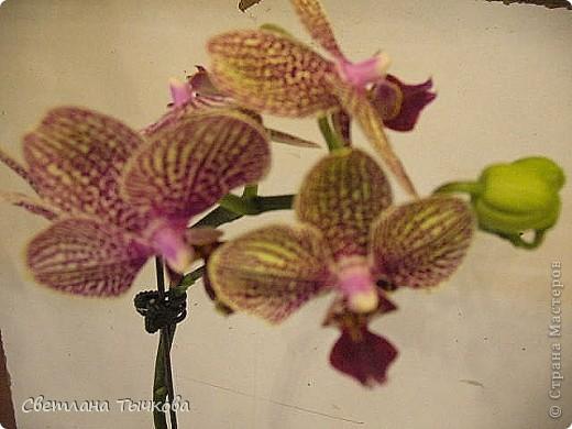 Гроздь нежных бабочек на ветке, Прекрасен сказочный цветок! Я поселила орхидею В прозрачного стекла горшок. Смотрю,любуясь,как на чудо- Не в силах взгляда отвести, Её лелеять,хОлить буду, И станет круглый год цвести! Светлана Тычкова фото 6