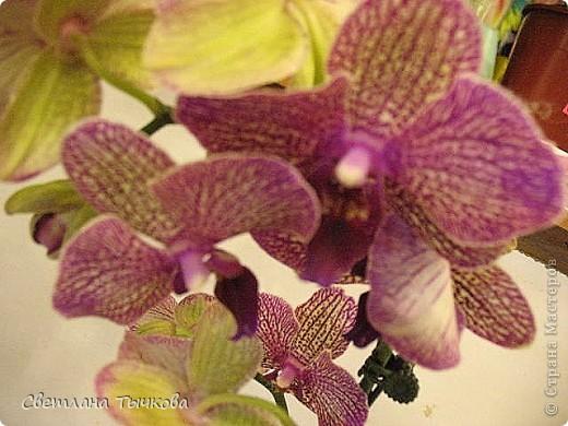 Гроздь нежных бабочек на ветке, Прекрасен сказочный цветок! Я поселила орхидею В прозрачного стекла горшок. Смотрю,любуясь,как на чудо- Не в силах взгляда отвести, Её лелеять,хОлить буду, И станет круглый год цвести! Светлана Тычкова фото 5