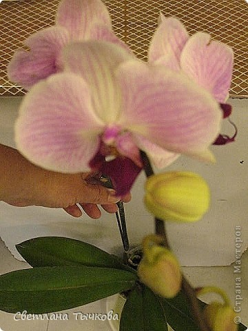 Гроздь нежных бабочек на ветке, Прекрасен сказочный цветок! Я поселила орхидею В прозрачного стекла горшок. Смотрю,любуясь,как на чудо- Не в силах взгляда отвести, Её лелеять,хОлить буду, И станет круглый год цвести! Светлана Тычкова фото 10