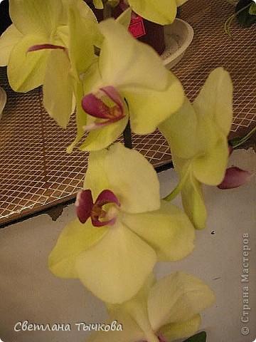 Гроздь нежных бабочек на ветке, Прекрасен сказочный цветок! Я поселила орхидею В прозрачного стекла горшок. Смотрю,любуясь,как на чудо- Не в силах взгляда отвести, Её лелеять,хОлить буду, И станет круглый год цвести! Светлана Тычкова фото 8