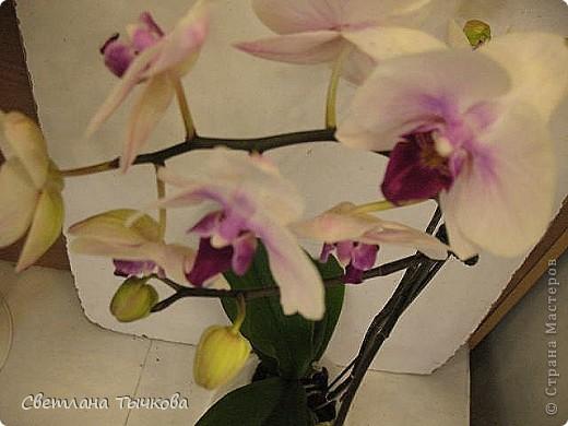 Гроздь нежных бабочек на ветке, Прекрасен сказочный цветок! Я поселила орхидею В прозрачного стекла горшок. Смотрю,любуясь,как на чудо- Не в силах взгляда отвести, Её лелеять,хОлить буду, И станет круглый год цвести! Светлана Тычкова фото 9