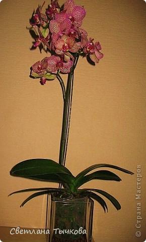 Гроздь нежных бабочек на ветке, Прекрасен сказочный цветок! Я поселила орхидею В прозрачного стекла горшок. Смотрю,любуясь,как на чудо- Не в силах взгляда отвести, Её лелеять,хОлить буду, И станет круглый год цвести! Светлана Тычкова фото 4