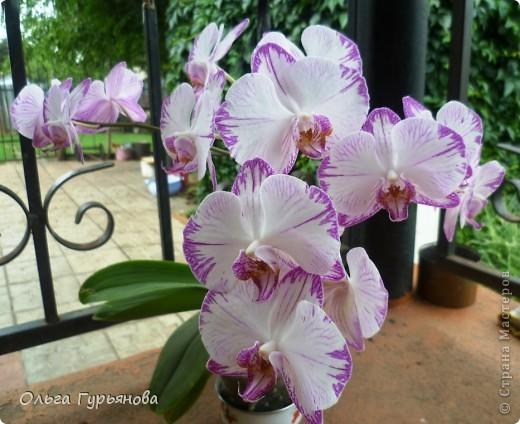 Вот такая орхидея расцвела у меня на окошке.46  цветочков насчитала. фото 1