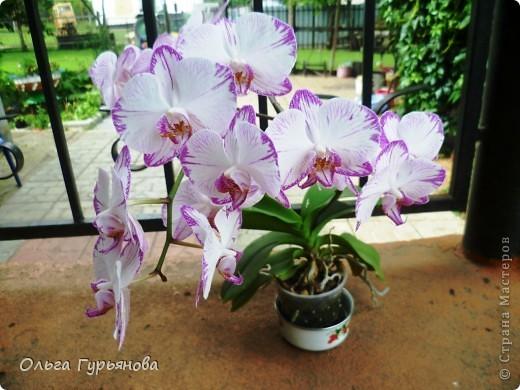 Вот такая орхидея расцвела у меня на окошке.46  цветочков насчитала. фото 2