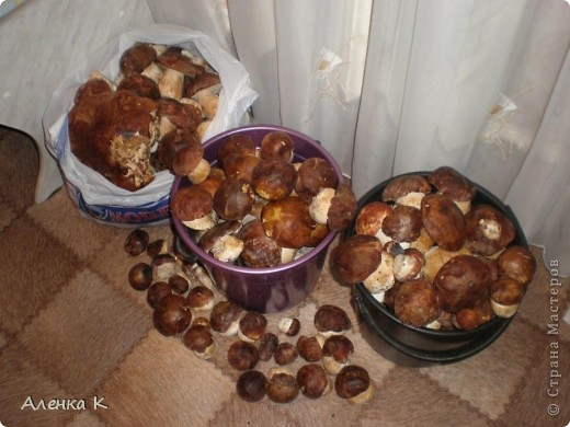 315 грибов-боровичков. фото 1