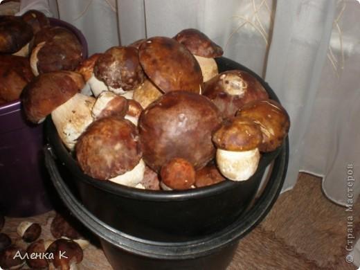 315 грибов-боровичков. фото 2