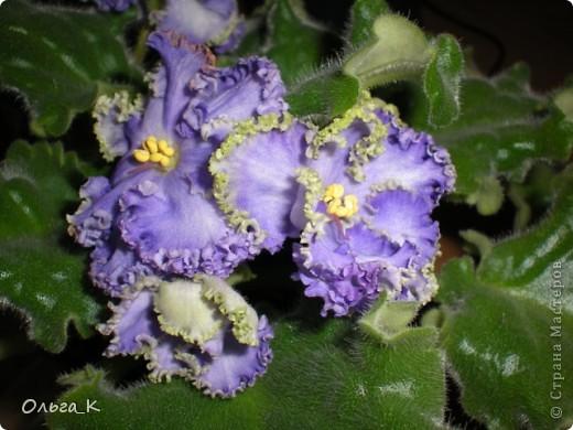 Решила тоже показать вам свои любимые комнатные растения. Итак, знакомьтесь: Глоксиния. фото 3
