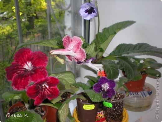 Решила тоже показать вам свои любимые комнатные растения. Итак, знакомьтесь: Глоксиния. фото 9