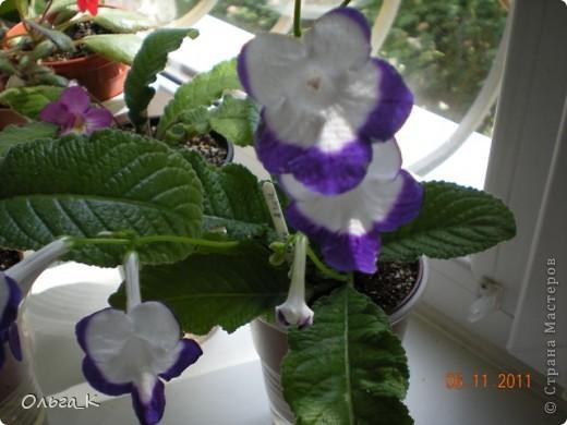 Решила тоже показать вам свои любимые комнатные растения. Итак, знакомьтесь: Глоксиния. фото 10