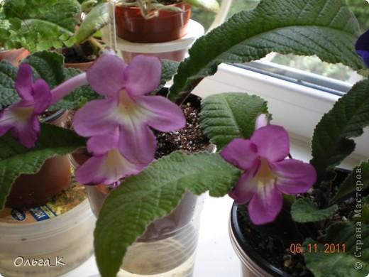 Решила тоже показать вам свои любимые комнатные растения. Итак, знакомьтесь: Глоксиния. фото 11
