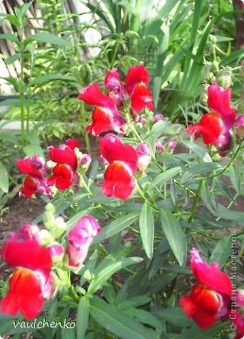 """Дворик у нас не большой. Но для цветов местечко всегда найдем! Первой из летних расцвела лилия """"Барселона"""" фото 17"""