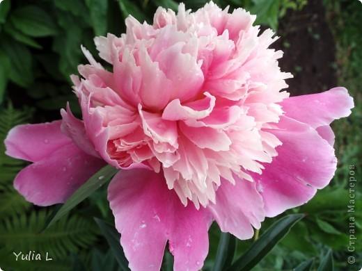 """Перед отпуском очень хочется показать еще один июньский фоторепортаж из Сибири.  В этом году у нас была необычайно ранняя и теплая весна, поэтому многие цветы распускаются """"досрочно"""". Пионы. фото 2"""