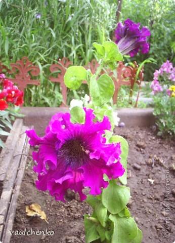 """Дворик у нас не большой. Но для цветов местечко всегда найдем! Первой из летних расцвела лилия """"Барселона"""" фото 18"""