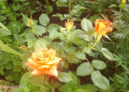 """Дворик у нас не большой. Но для цветов местечко всегда найдем! Первой из летних расцвела лилия """"Барселона"""" фото 8"""