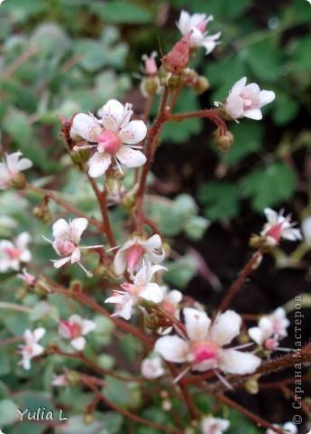 """Перед отпуском очень хочется показать еще один июньский фоторепортаж из Сибири.  В этом году у нас была необычайно ранняя и теплая весна, поэтому многие цветы распускаются """"досрочно"""". Пионы. фото 17"""