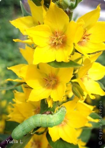 """Перед отпуском очень хочется показать еще один июньский фоторепортаж из Сибири.  В этом году у нас была необычайно ранняя и теплая весна, поэтому многие цветы распускаются """"досрочно"""". Пионы. фото 18"""