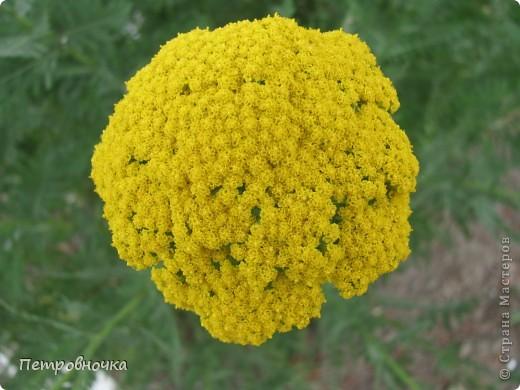 А лето на Кубани в этом году странное! Весь июнь шли дожди, было прохладно! Но цветы роскошные и радуют глаз. фото 2