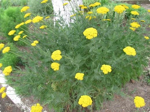 А лето на Кубани в этом году странное! Весь июнь шли дожди, было прохладно! Но цветы роскошные и радуют глаз. фото 3