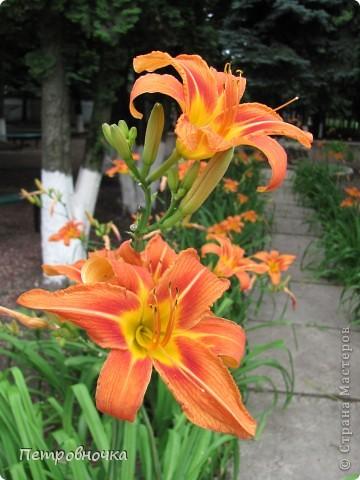 А лето на Кубани в этом году странное! Весь июнь шли дожди, было прохладно! Но цветы роскошные и радуют глаз. фото 1