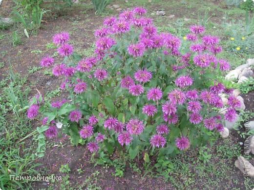 А лето на Кубани в этом году странное! Весь июнь шли дожди, было прохладно! Но цветы роскошные и радуют глаз. фото 5
