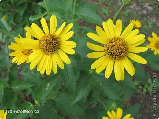 А лето на Кубани в этом году странное! Весь июнь шли дожди, было прохладно! Но цветы роскошные и радуют глаз. фото 6