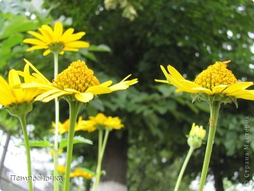 А лето на Кубани в этом году странное! Весь июнь шли дожди, было прохладно! Но цветы роскошные и радуют глаз. фото 7