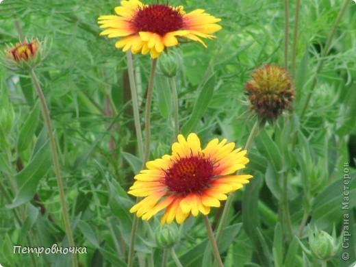 А лето на Кубани в этом году странное! Весь июнь шли дожди, было прохладно! Но цветы роскошные и радуют глаз. фото 10