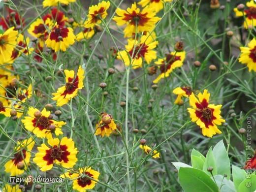 А лето на Кубани в этом году странное! Весь июнь шли дожди, было прохладно! Но цветы роскошные и радуют глаз. фото 11