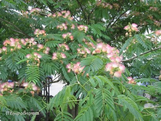 А лето на Кубани в этом году странное! Весь июнь шли дожди, было прохладно! Но цветы роскошные и радуют глаз. фото 14