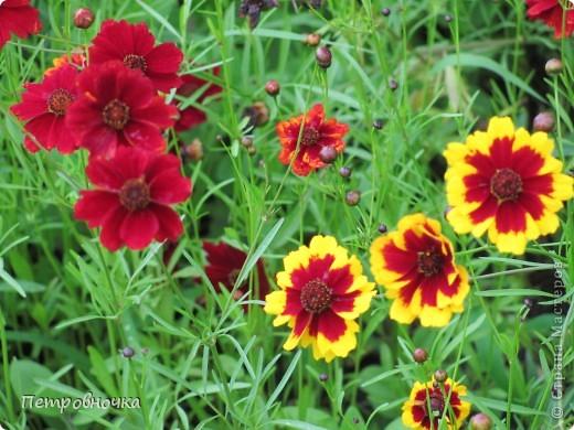 А лето на Кубани в этом году странное! Весь июнь шли дожди, было прохладно! Но цветы роскошные и радуют глаз. фото 12