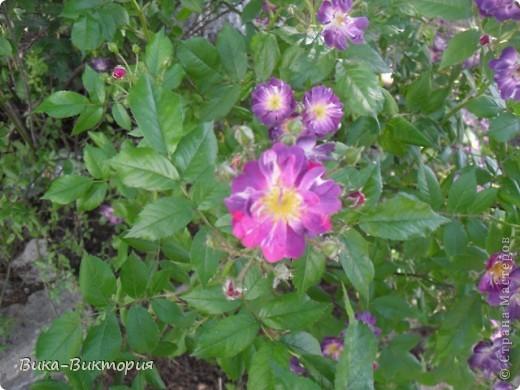 Хочу показать вам розы, что расцвели у нашего дедушки в саду, мы вчера были у него в гостях и я не удержалась - сфоткала несколько самых красивых, вот хочу поделиться с вами . фото 7