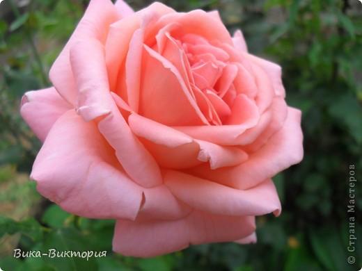 Хочу показать вам розы, что расцвели у нашего дедушки в саду, мы вчера были у него в гостях и я не удержалась - сфоткала несколько самых красивых, вот хочу поделиться с вами . фото 1