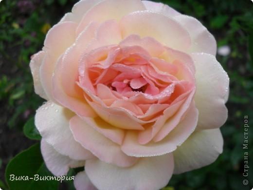 Хочу показать вам розы, что расцвели у нашего дедушки в саду, мы вчера были у него в гостях и я не удержалась - сфоткала несколько самых красивых, вот хочу поделиться с вами . фото 2