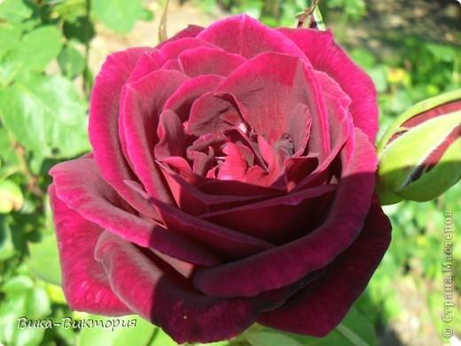 Хочу показать вам розы, что расцвели у нашего дедушки в саду, мы вчера были у него в гостях и я не удержалась - сфоткала несколько самых красивых, вот хочу поделиться с вами . фото 4