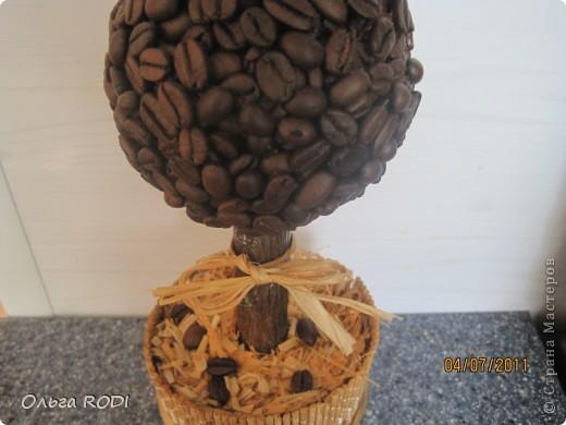 Всем доброго времени суток! В промежутках между лепкой вырастила вот такое кофейное дерево.  фото 2