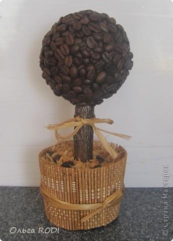 Всем доброго времени суток! В промежутках между лепкой вырастила вот такое кофейное дерево.  фото 1