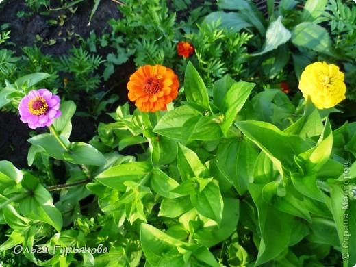 Очень люблю приусадебное цветоводство.Эти махровые ромашки вырастила из семян. фото 8