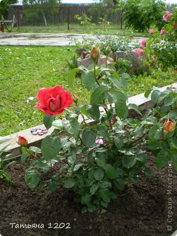 Розы как они прекрасны фото 3