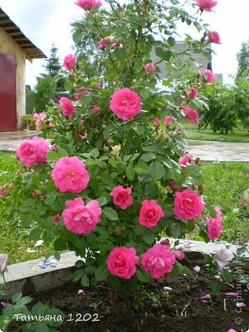Розы как они прекрасны фото 2